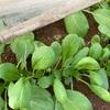 トンネル栽培の小松菜