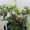 「まつこの庭」のクリスマスローズ(5)・小輪多花と多弁花