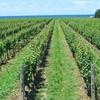 《映画に見る食農表現》サイドウェイ、ワインづくりは人生そのもの