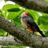 おなかが赤い Golden-Fronted Woodpecker (ゴールデンフロンテッド ウッドペッカー)