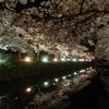 もはや凄みのある美しさ 富山城「松川の夜桜」