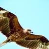 鵠沼海岸へ行こうとしている人へ。「鷹」に気を付けるんだっ!