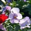 寒さに強いかわいい花