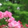 薔薇の香を呼吸し