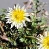 タンポポやオオイヌノフグリの開花