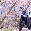MT-09に乗って桜を見に行った