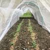 【家庭菜園】先日植えた野菜の間引き(にんにく、大根、大阪しろな、じゃがいも、チンゲン菜)