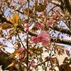 八重桜が咲き始める