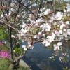 桜土手 なごりの桜