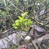 2015/03/13 今日は暖かだから思わず庭の木々に目が向いてしまいます。アンジェラの若芽も力強い!!