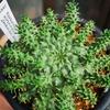 Euphorbia atroviridis 成長記(2019.7.31)