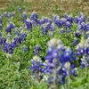 Bluebonnets + Save the World Brewing in Marble Falls,TX