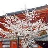 八坂神社の春。2018年の桜の開花状況。