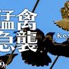 0209B【猛禽類チョウゲンボウを襲うカラス】ノスリ幼鳥。魚捕食鳥コサギ。シジュウカラ鳴き声。トモエガモ。オカヨシガモ求愛行動。ハシビロガモ。【野鳥】 #身近な生き物語 #チョウゲンボウ #トモエガモ鶴美川水系恩田川の野鳥