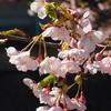 蝶屋「桜の名所」(速報)