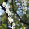 白梅の花びらも散ってゆく