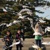 また 竹島海岸のユリカモメ^^;