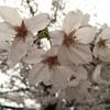 東京の桜はこれから見頃!千鳥ヶ淵周辺の桜を見に行きました
