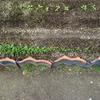 【家庭菜園】ほうれん草の間引きをしました(2回目)