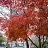 佃島の紅葉