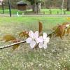 北海道も桜が咲きました🌸