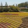 世羅高原農場の花畑風景 NO,5(広島県世羅町)