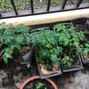 ベランダ菜園の年間計画を作成