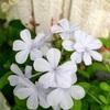 涼しげな花  💠