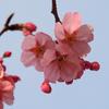 「桜まつり」を待つ〝墨堤〟の桜、そして浅草寺…多国籍の賑わい