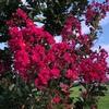 今、ケンタッキー州ではサルスベリの花が綺麗に咲き誇っています。