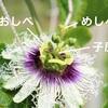 パッションフルーツの受粉作業2019!一日しか咲かない花を実らせる方法とは!?