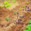 甘長とうがらしの植え付け!じゃがいもの葉にテントウムシダマシが('Д')!