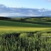 夏色パレット♪ 小麦畑色づく