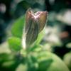 やっと咲いてくれたペチュニア