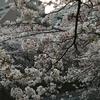 川いっぱいに花びらが浮かぶ「目黒川の桜」