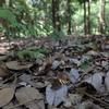 8/12・大泉緑地のムラサキシジミ 〜 アラカシの林床にたくさんの姿がありました