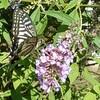 蝶が好きなブッドレア