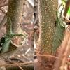 越冬へ向けたアカボシゴマダラ幼虫
