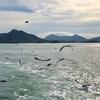 広島駅からうさぎ島(大久野島)へ、三原港から休日運行 予約可能な高速船「ラビットライン」を利用、たくさんのカモメが追尾