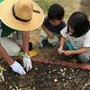 ヒマワリの植え付け🌻とキュウリ狩り🥒