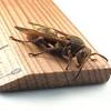 コアシナガバチバチ