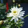 今日の景色 03/11 菊・タンポポ・桜