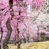 京都 梅の花①