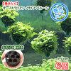 (水草)巻きたて オーストラリアン ノチドメ バルーン(無農薬)(6個) +おもり3個 北海道航空便要保温