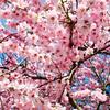 【春うた】思い出に残っている春に聴きたい曲(その1)。