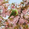 3/7(日) 和田堀公園③『河津桜を盗蜜するワカケ』