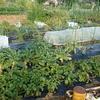 菜園日和り