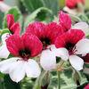 パンジーゼラニウム - 今日の誕生花 -