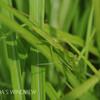 チョウセンカマキリの幼虫