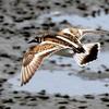 再掲:干潟のキョウジョシギ